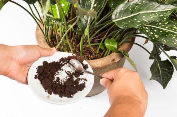 Caffè come fertilizzante