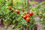 Concime per i pomodori