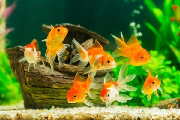 Acquario dolce con pesci rossi