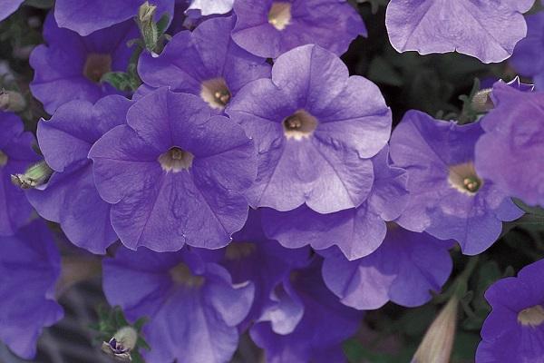 Petunia blu