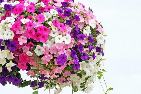 Come coltivare la petunia for Petunie inverno
