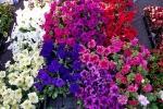 Varietà di petunia ricadente