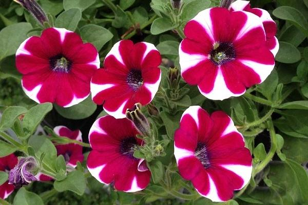 Petunia rossa e bianca
