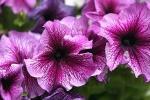 Petunia lilla