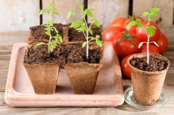 Coltivazione di pomodori nel vaso