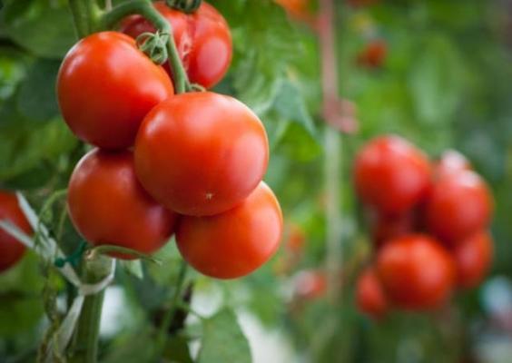 Pomodori da insalata in vaso