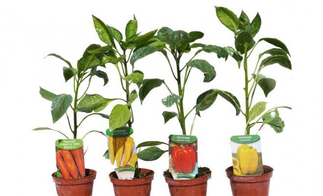 Peperoni in vaso di Savini Vivai