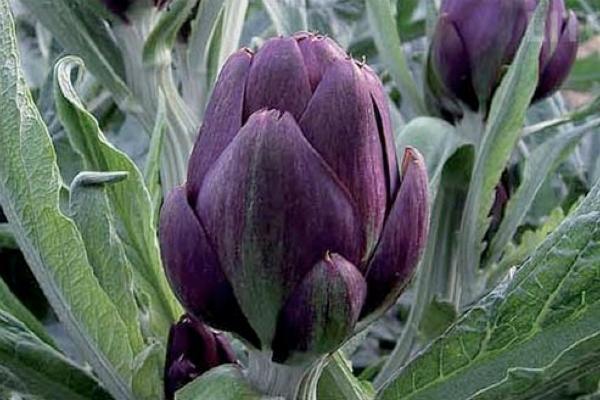 Carciofo violetto Romagna per vaso di Ortofruttifero