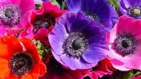 Coltivare l'anemone in giardino