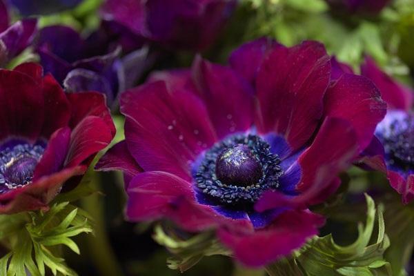 Anemone Coronaria scarlatta