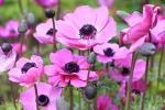 Anemone coltivato in piena terra