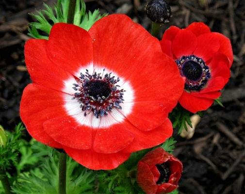 Anemone Coronaria Olandese