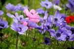 Anemoni blu e rosa in piena terra