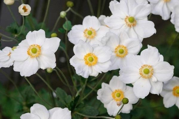Distesta di Anemone Giapponese