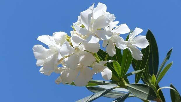 Pianta di Oleandro: caratteristiche, coltivazione in vaso e cure