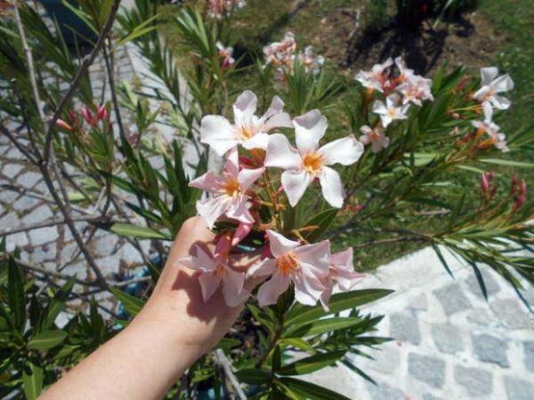 Fiore di oleandro colore rosa