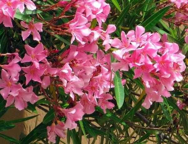 Coltivare l'Oleandro rosa