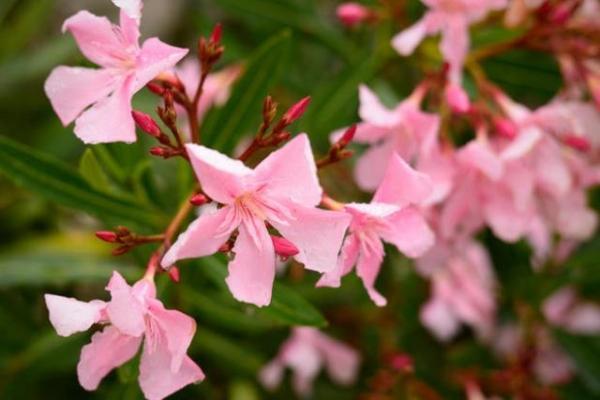 Oleandro di color rosa acceso