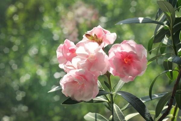 La pianta di Oleandro, colore rosa pallido