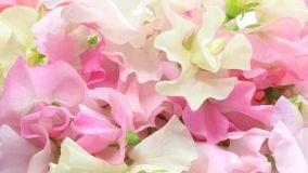 Pisello odoroso: coltivazione e cura
