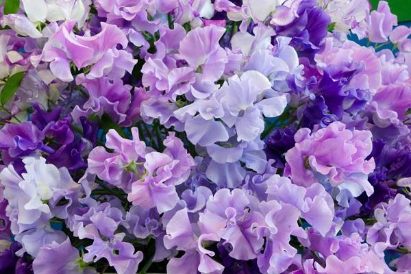 Pisello Odoroso lilla da gardenclinic.com