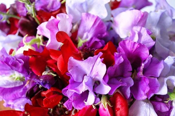 Varietà di Pisello Odoroso da gardenofeaden.blogspot.it