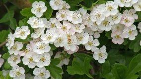 Biancospino: proprietà, coltivazione e cure
