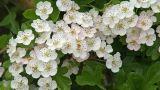 Proprietà, coltivazione e cure del Biancospino