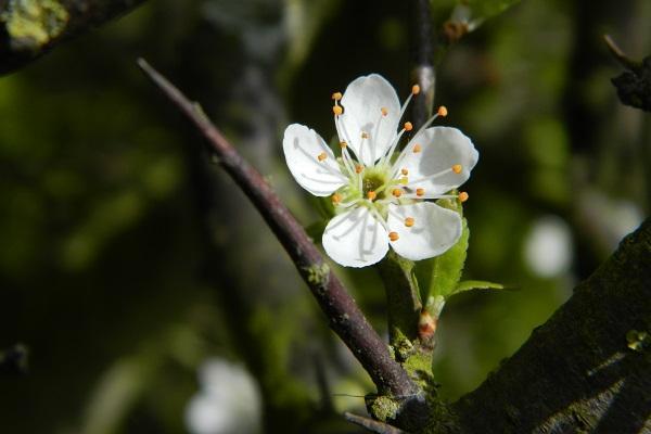 Fiore di Biancospino da sowandso.com