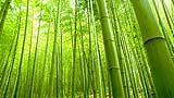 Alberi-bamboo