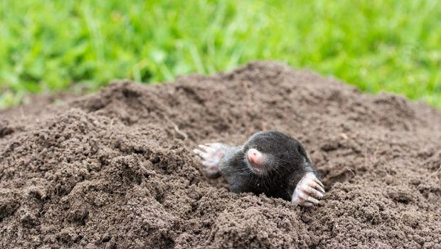 Talpe: come evitare l'invasione in orti e giardini