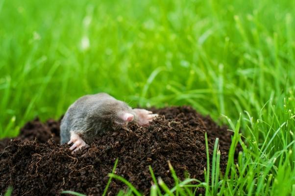 Buco nel terreno realizzato dalla talpa