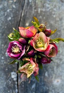Bouquet di Elleboro
