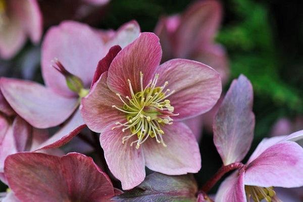 Elleboro lilla