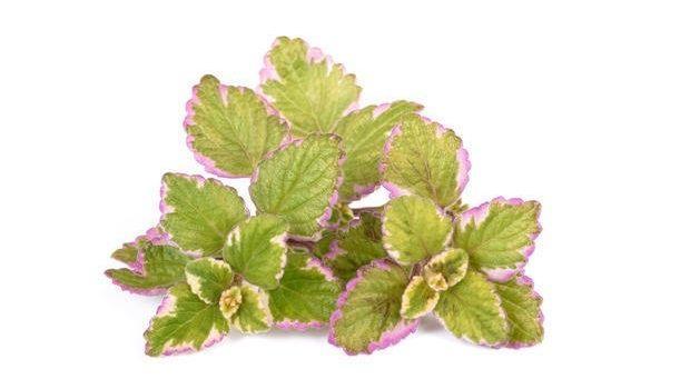 Consigli per la coltivazione del Plectranthus, la pianta dell'incenso