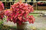Plectranthus in vaso