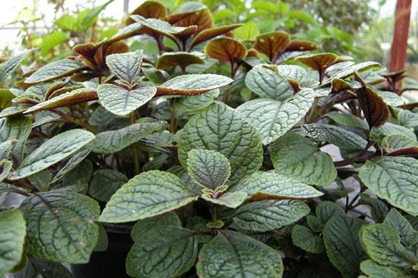 Plectranthus la pianta dell 39 incenso for Pianta con foglie rosse