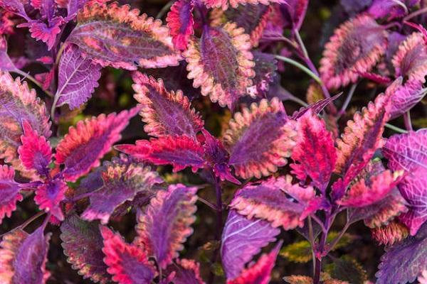 Plectanthus variegato