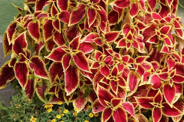 Plectranthus rosso