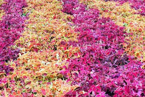 Plecrtanthus variegato