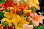 Bella di giorno Hemerocallis colorati di Bakker