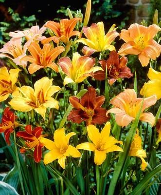 Bella di giorno Hemerocallis rossi e gialli di Bakker