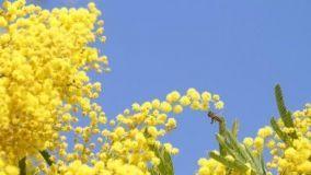 La Mimosa: coltivazione e cura