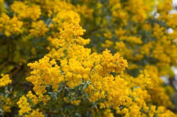 Arbusto di mimosa