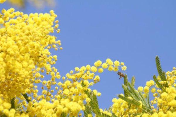 Coltivazione della mimosa
