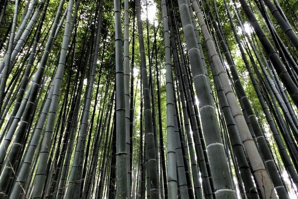 Piantagione di bambù
