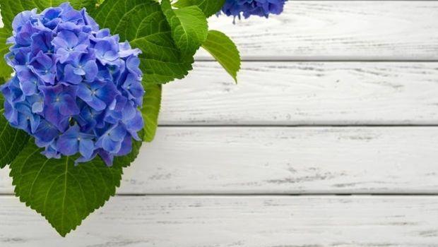Consigli per coltivare le Ortensie rampicanti