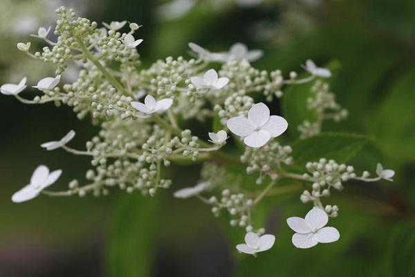 Ramo di Hydrangea Petiolaris