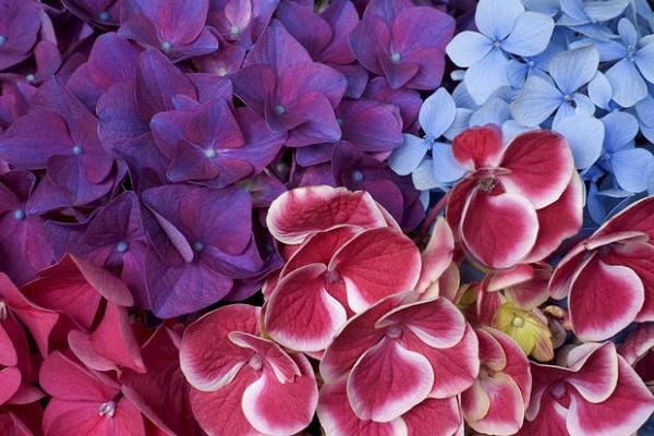 Mix di colori di Ortensie rampicanti