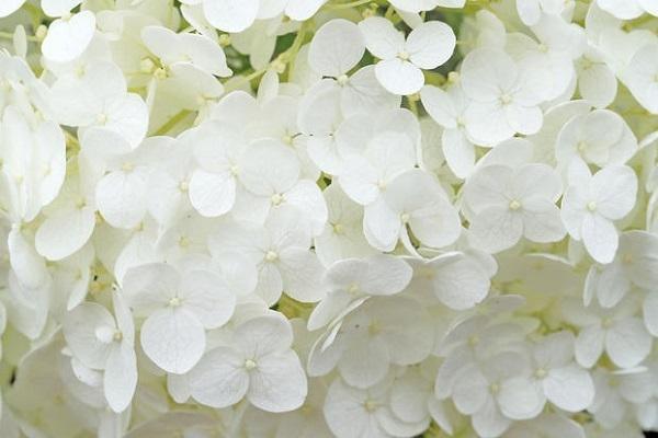Fiori bianchi di Ortensie rampicanti